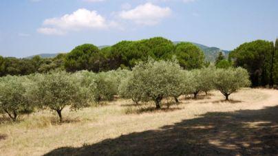 Champ d'oliviers à Lourmarin