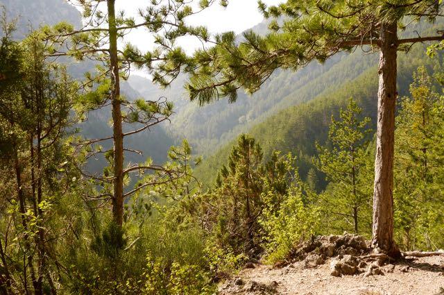 Les pins des gorges de Trevans