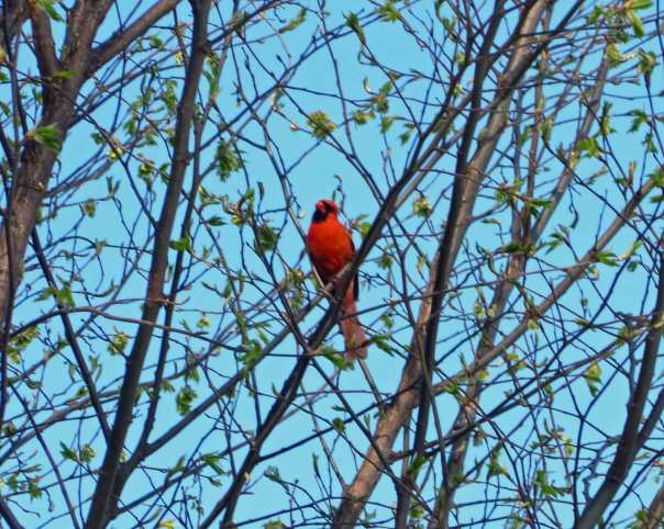 Cardinal in a tree at Mary Kate's Place