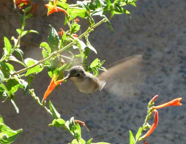 Hummingbird at the Sonoran Desert Museum in Tucson, AZ