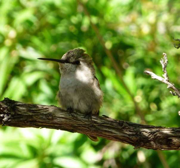 A hummingbird just hanging out at the Sonoran Desert Museum in AZ