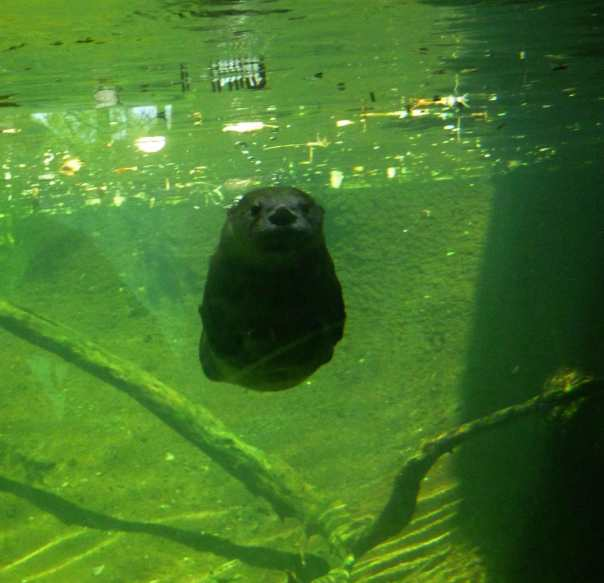 An otter at the Sonoran Desert Museum hosts the blog this week