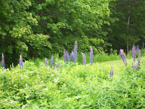 Lupins in Maine