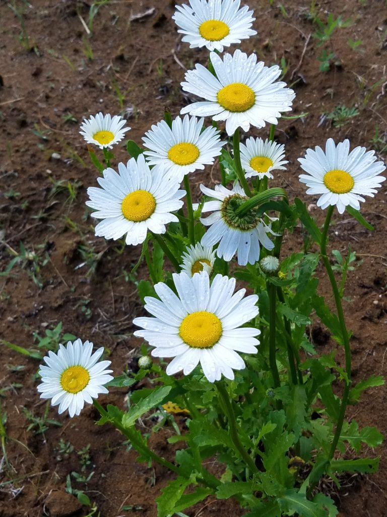 The daisies Denise bought at the local nursery and which the Rose Chafer bugs chomped into bits later