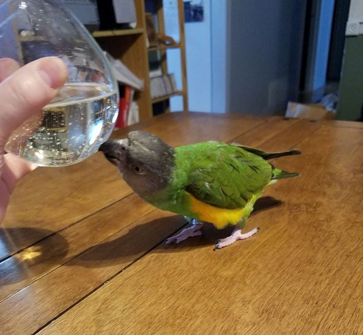 We don't have any rooster pics for Lunar New Year. Instead we have a Senegal parrot trying to get at some prosecco.