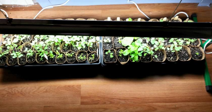 Seedlings under light