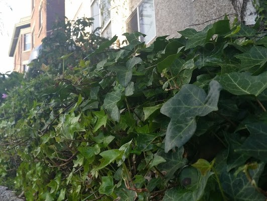Shot of ivy with concrete and brick walls behind