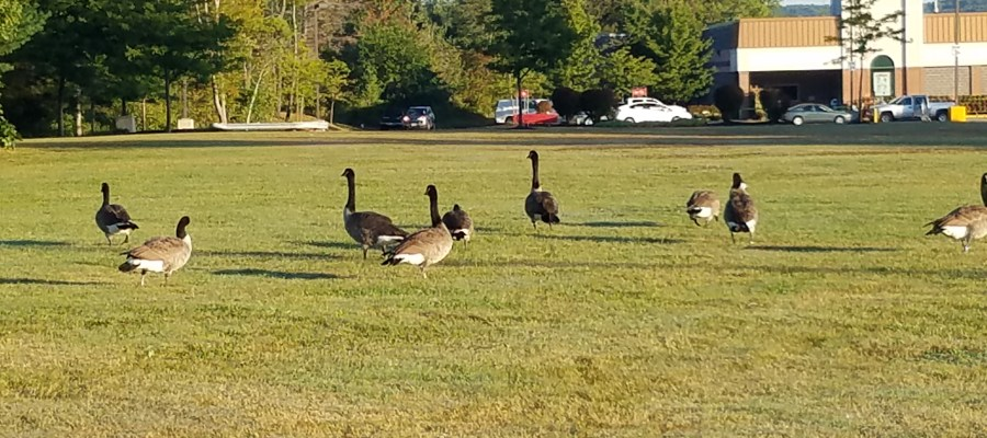 Canadian Geese visiting the Marketbasket in Tilton, NH