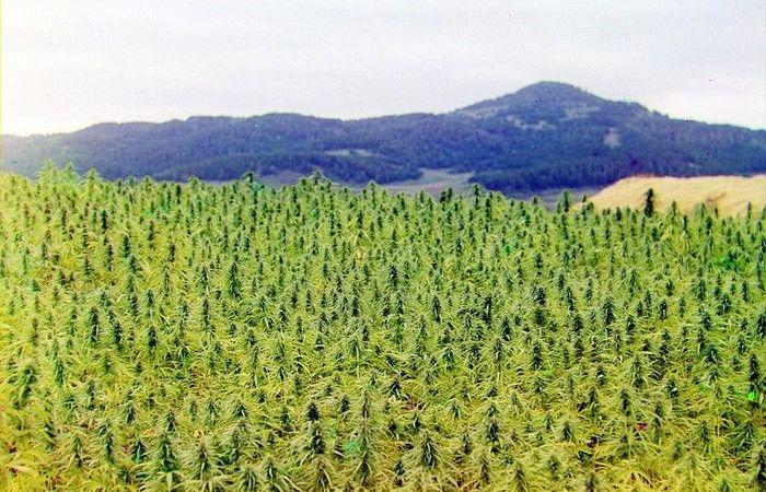 Wild grown marijuana in Kazakhstan supplies 93% of Russia's market.