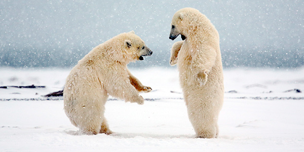 Polar bears prey literally serves itself up.