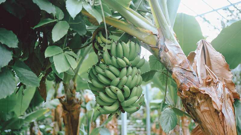 Is Iceland Europe's largest banana producer?