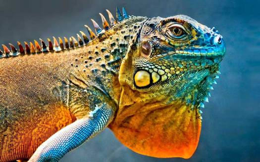 Colourful Iguana Photo