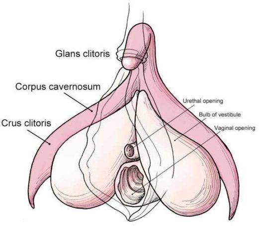 Diagram of the clitoris