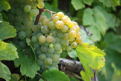 vernon-grapes