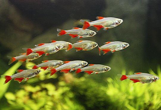 Best Tankmates for Goldfish   Advanced Aquarium Concepts