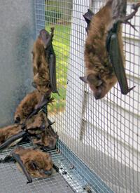 bat eviction service