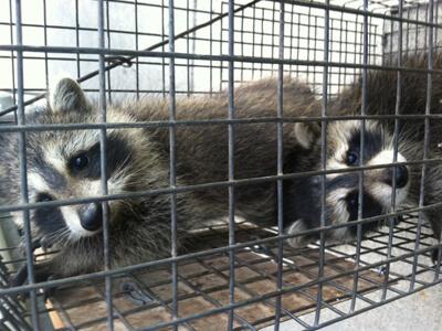 baby raccoons, raccoon removal