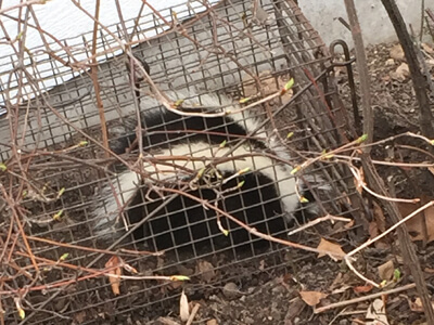 skunk trapped