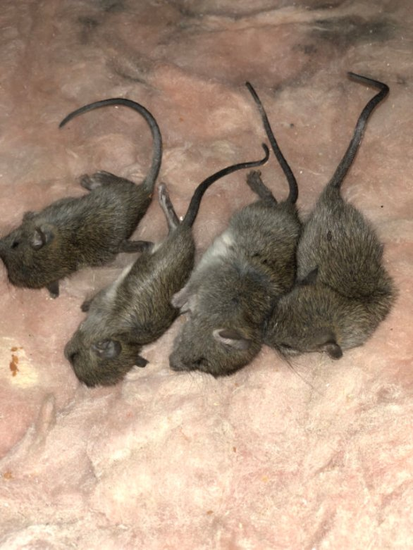 dead rodents in home