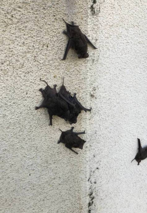 bats on wall of home, bat control, bat removal, bat exclusion