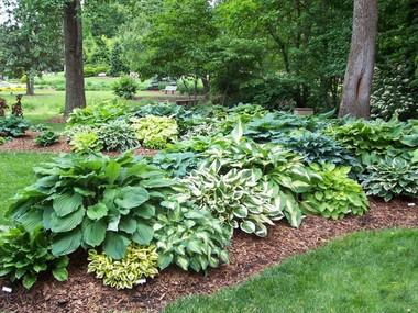 lawn and garden hosta's toughness