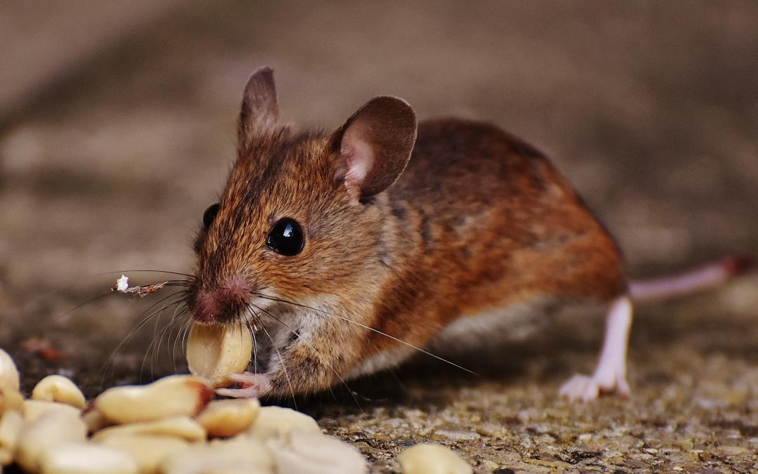 Pick-A-Pest: MICE