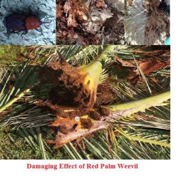 fea Application of Laser Induced Breakdown Spectroscopy in Early Detection of Red Palm Weevil-advances in engineering