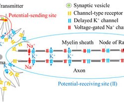 directional propagation of action potential using a mimicking system-(Advances-in-Engineering--