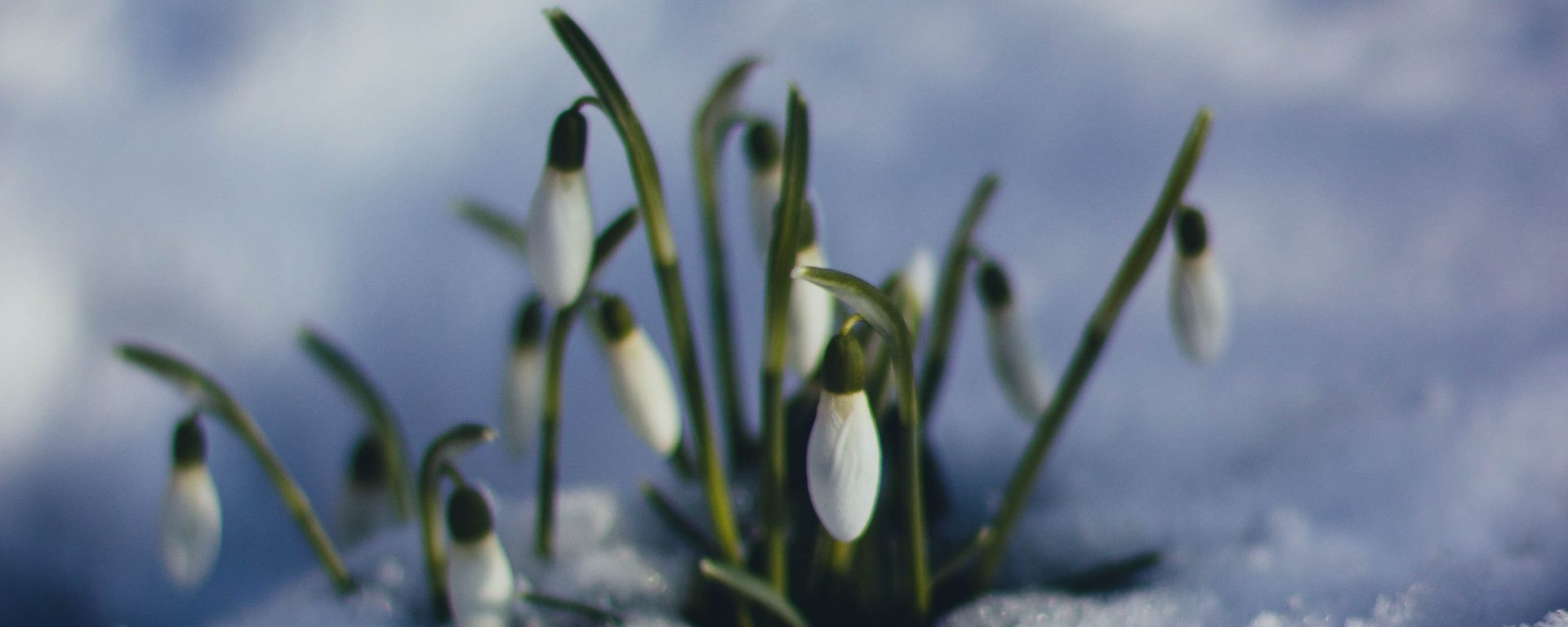 Flower buds sprout from snowy ground.