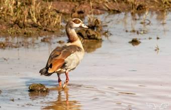 Common duck