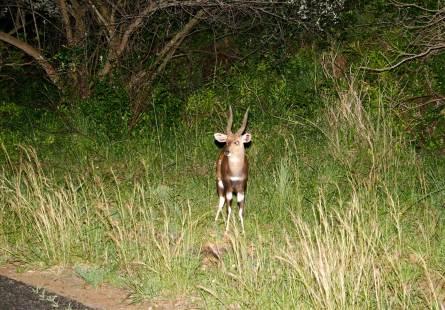 Bushbuck adolescent