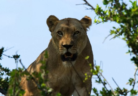 Lioness on the hill