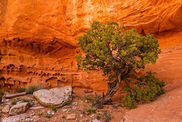 Alcove Tree