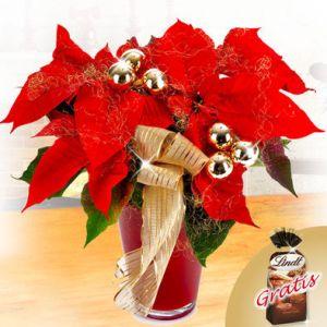 Weihnachtsstern Quelle: floraprima.de