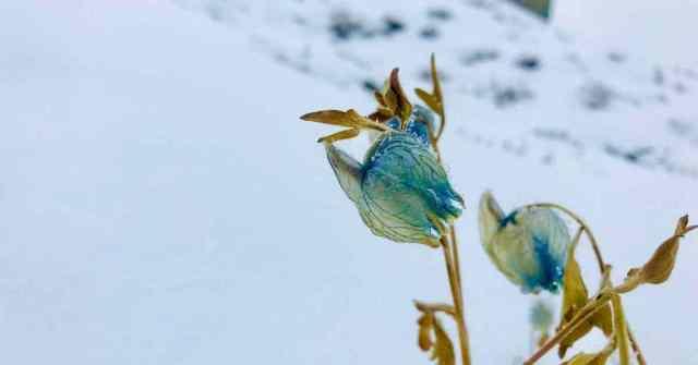 Sunderdhunga valley_ Blue Poppies_Adventure-pulse