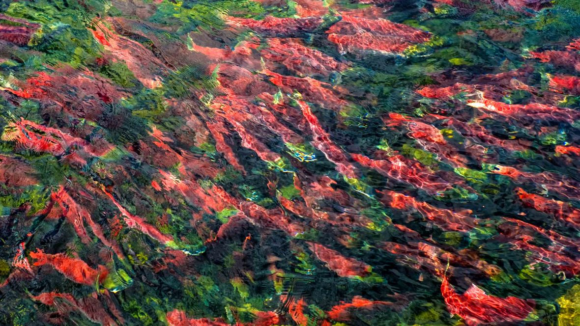 Fall Country Wallpaper British Columbia S Sockeye Bizarre Beautiful Salmon Run