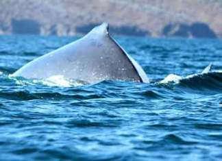 Ruttanai Whale in the Galapagos Islands