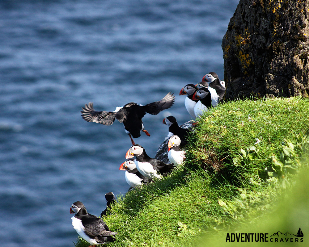 Puffins on the island of Mykines in the Faroe Islands