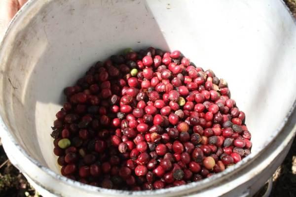 赤いコーヒーの実の写真
