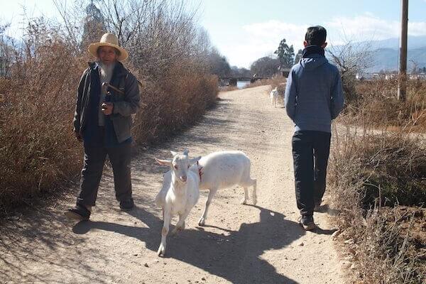 ヤギのお散歩の写真
