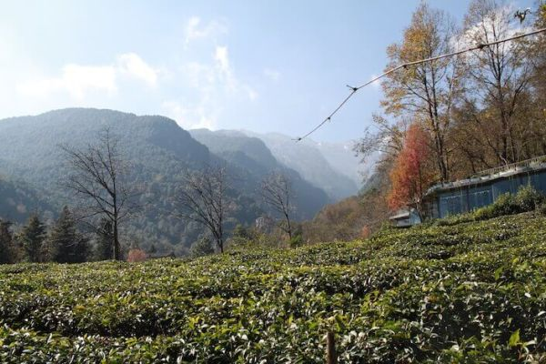大理のプーアール茶畑アイキャッチ画像
