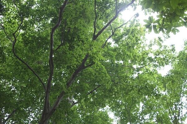 夏のブナ林の写真