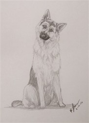 German Shepherd, Pencil on Paper, 15 Feb 2016