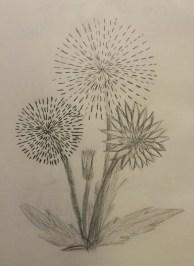 Firework Dandelions, Pencil, July 2008