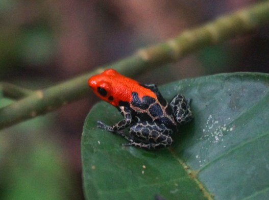 Red Backed Poisonous Frog