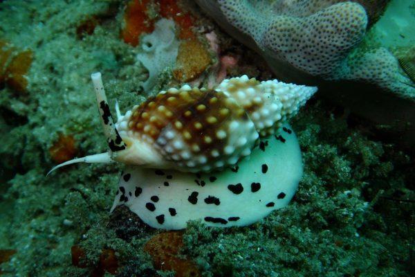 Underwater Dalmation