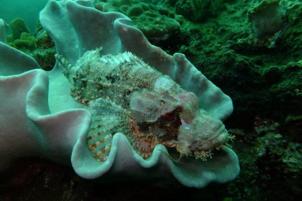 White scorpionfish - camouflaging with the coral