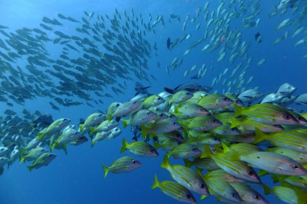 Yellow - banded snappers