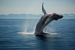 humpback-photo-courtesy-of-seed-media