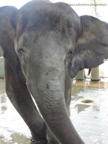 Selendang elephant uses a prosthetic leg when she goes to play in the yard!